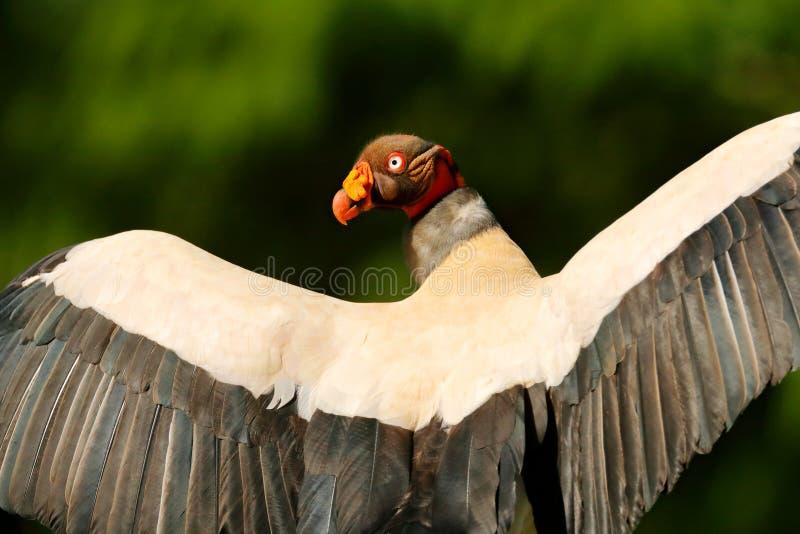 Konunggammet, Costa Rica, den stora fågeln grundar i Sydamerika Djurlivplats från vändkretsnaturen Kondor med det röda huvudet arkivbild