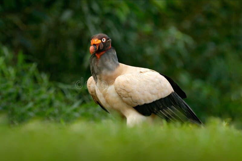 Konunggammet, Costa Rica, den stora fågeln grundar i Sydamerika Djurlivplats från vändkretsnaturen Kondor med det röda huvudet royaltyfri bild