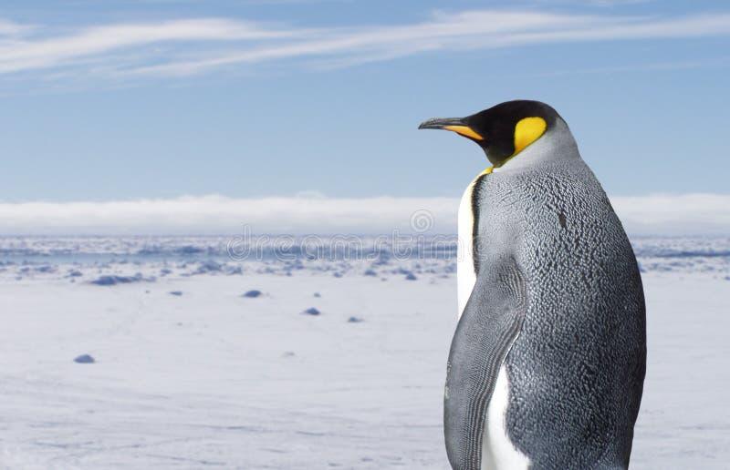 konungpingvin royaltyfria bilder