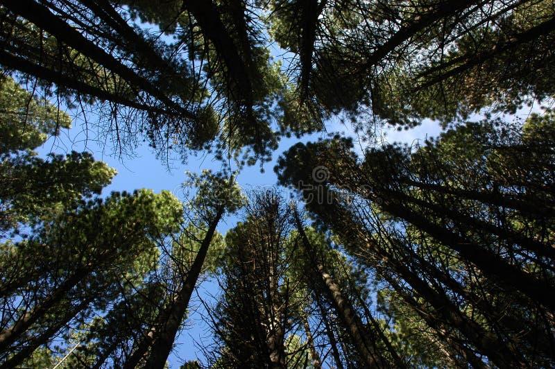 Konvergierende Bäume lizenzfreie stockfotos