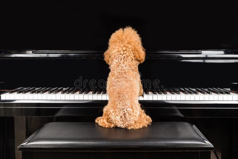 Konzept des netten Pudelhundes, der aufrechten Flügel spielt stockbild