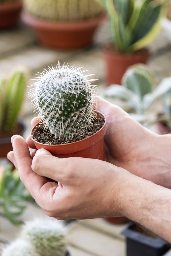 Konzept mit einem jungen Mann im Hemd, einen Kaktus mit seinen Händen halten Sorgfalt vorschlagend lizenzfreie stockbilder