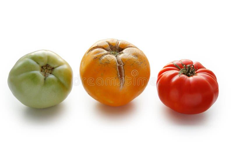 Konzept von drei Tomaten - rot, grün und gelb auf weißem Hintergrund lizenzfreie stockfotos