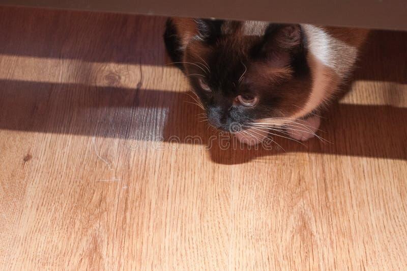 Konzept von Haustieren, schöne siamesische Katze, die heraus von unterhalb der Tabelle späht lizenzfreie stockfotos