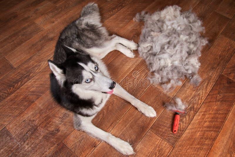 Konzeptjahrbuch mausern, der verschüttende Mantel, moulting Hunde Lügen des sibirischen Huskys auf Bretterboden nahe bei Stapelwo stockfotografie