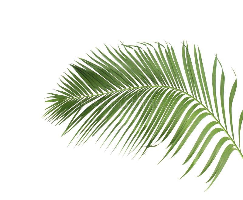 Konzeptsommer mit grünem Palmblatt von tropischem Wedel mit Blumen stockfoto