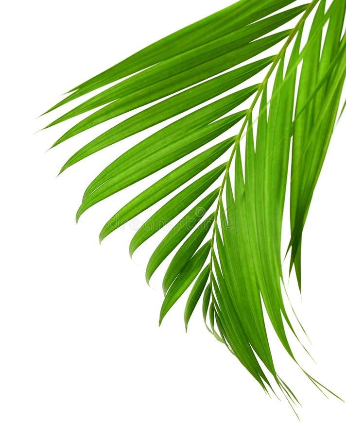 Konzeptsommer mit grünem Palmblatt von tropischem Wedel mit Blumen Flora, Wald stockfotografie
