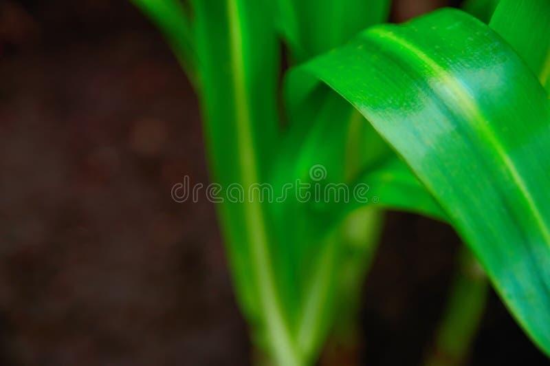 Konzeptwachstum und -frische Lang erweiterte grüne Pflanzenblätter hellgrün auf dunkler Hintergrundnahaufnahme Selektiver Fokus stockbilder