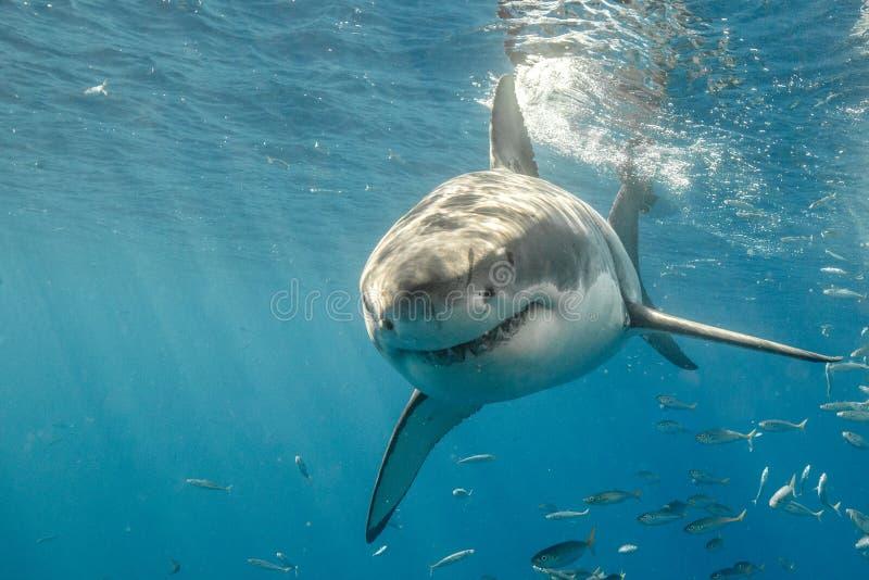 Kooi die met Great White-Haaien in Mexico duikt stock afbeelding