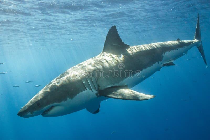 Kooi die met Great White-Haaien in Mexico duikt stock fotografie