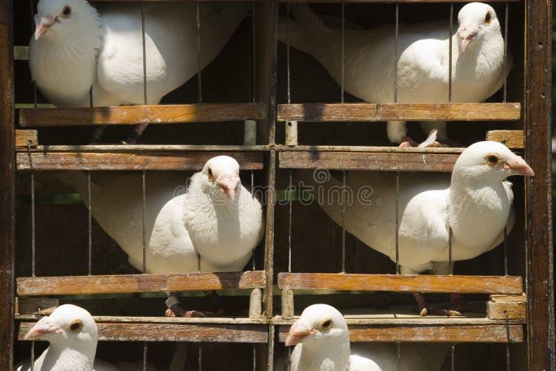 Kooi met witte duiven royalty-vrije stock foto