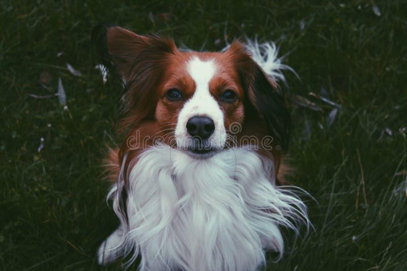 Kooiker,狗 免版税图库摄影