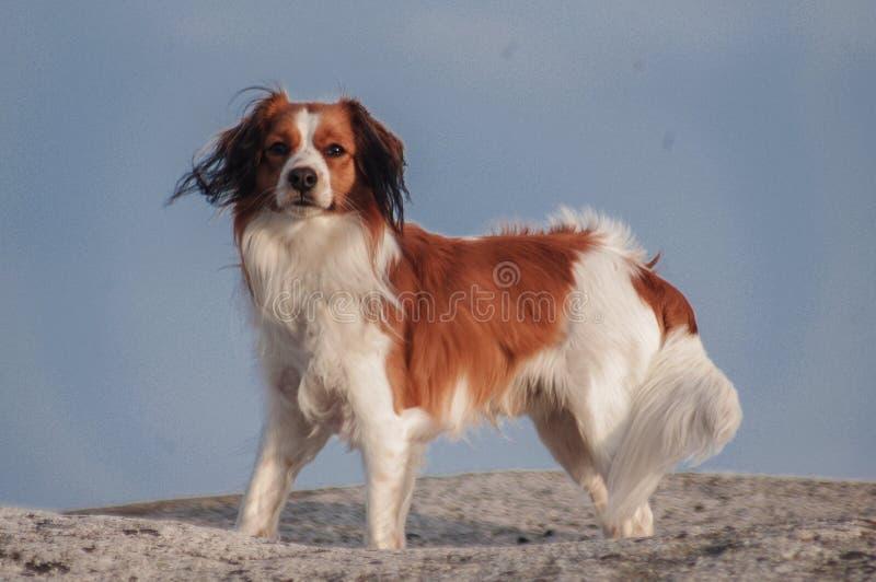 Kooiker hund arkivfoton