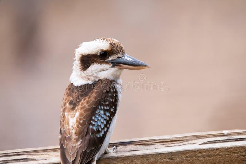 Kookaburra坐栖息处 免版税库存照片