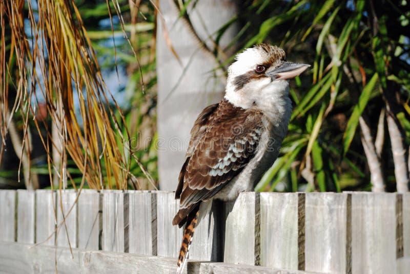 Kookaburra坐郊区房子篱芭 库存照片