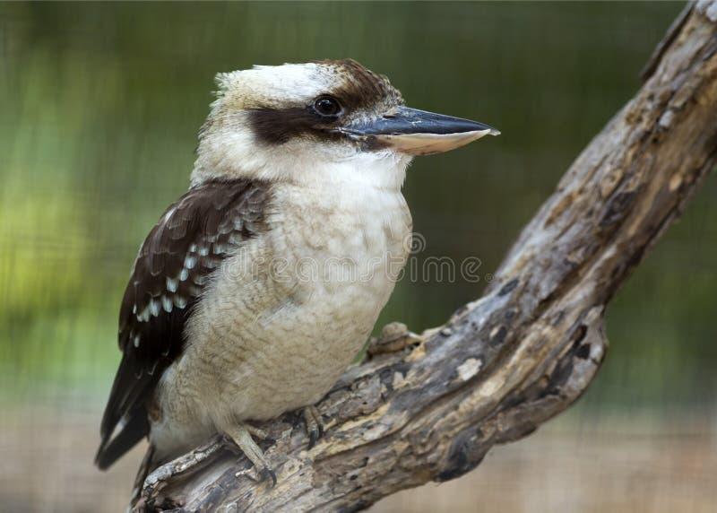 kookaburra śmiać obraz stock