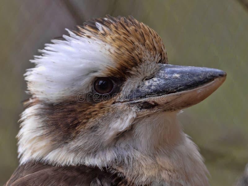 Kookaburra γέλιου, novaeguineae Dacelo, ήχοι πολύ δυνατοί, όπως το γέλιο στοκ εικόνες