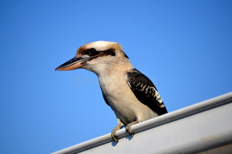 Kookaburra στη στέγη στοκ φωτογραφίες
