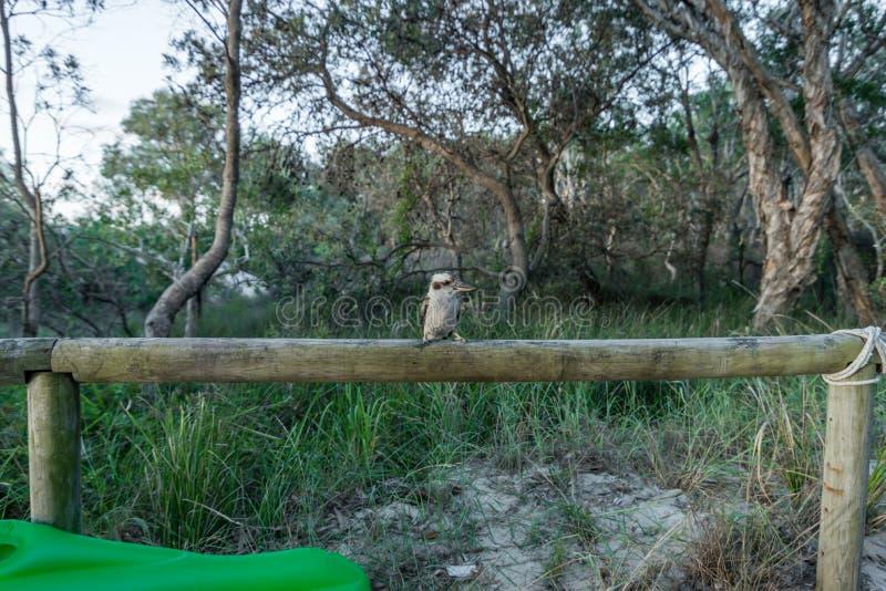 Kookaburra στο στρατόπεδο στο νησί Moreton στο Queensland Αυστραλία στοκ εικόνα με δικαίωμα ελεύθερης χρήσης