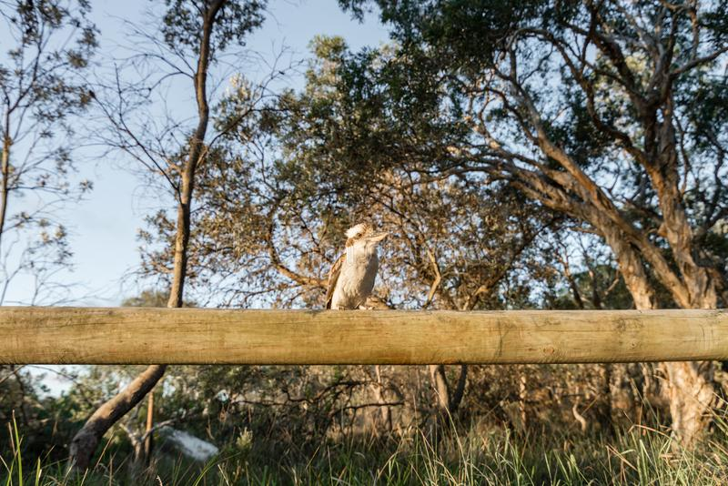 Kookaburra στο στρατόπεδο στο νησί Moreton στο Queensland Αυστραλία στοκ εικόνες