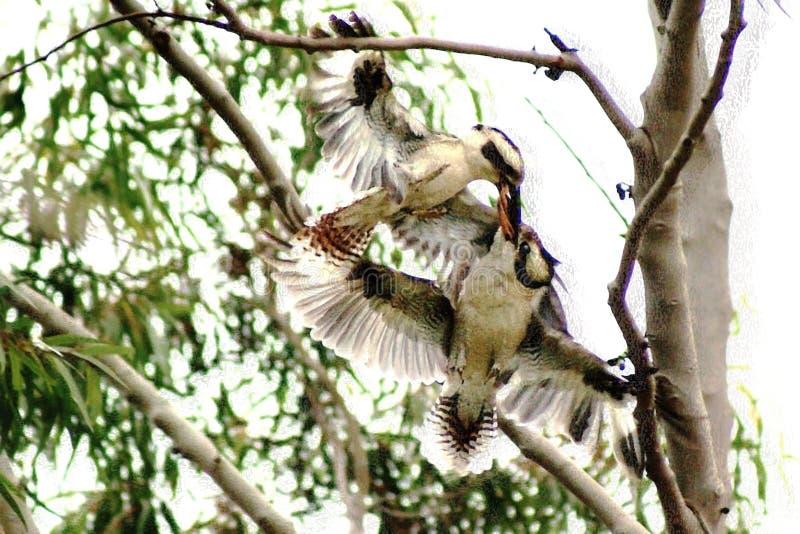 Kookaburra воюя в дереве стоковое фото