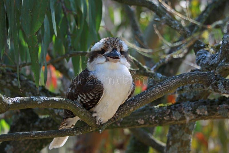 Kookaburra смотря камеру стоковое фото