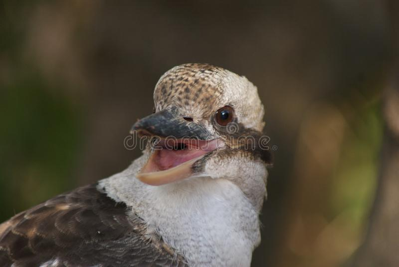 Kookaburra с ртом открытым стоковое изображение