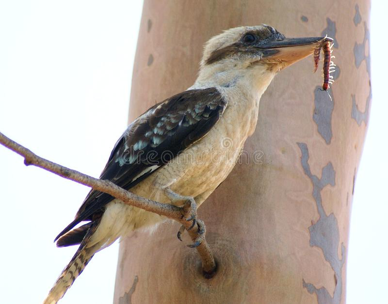 Kookaburra с Centipeed стоковое изображение