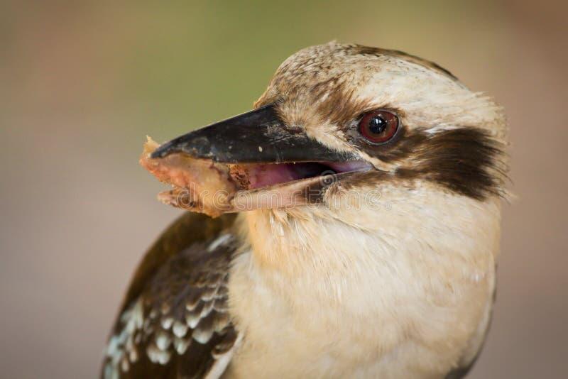 Download Kookaburra stock image. Image of indigenous, head, noisy - 12675959