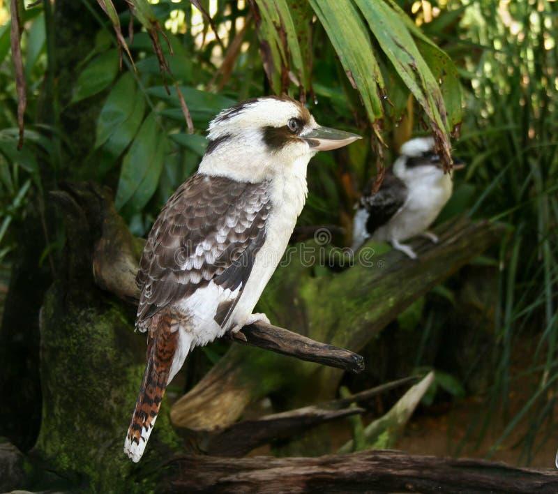 Download Kookaburra imagen de archivo. Imagen de arbusto, pájaro - 1295601
