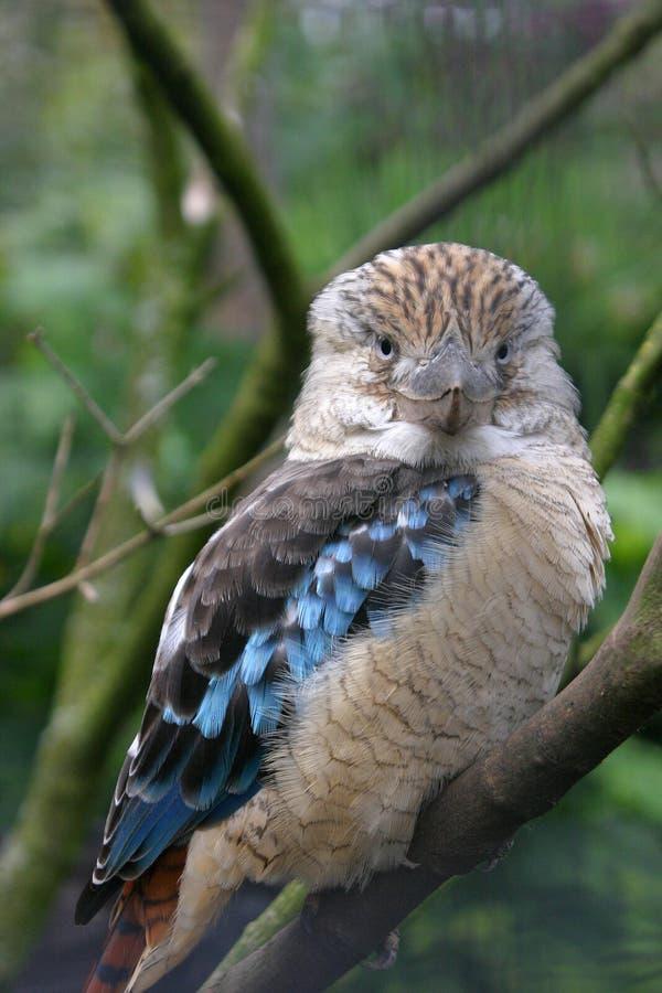 kookaburra στοκ φωτογραφίες