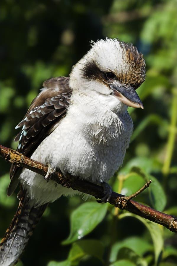 kookaburra fotografering för bildbyråer