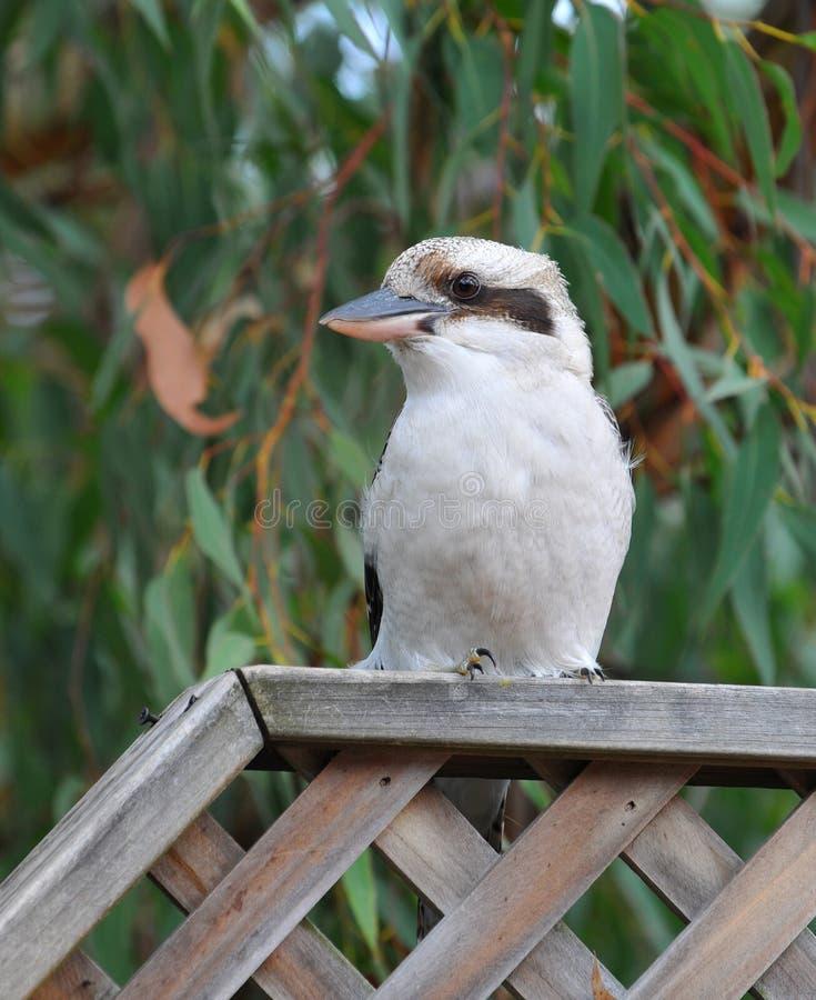 kookaburra 免版税图库摄影