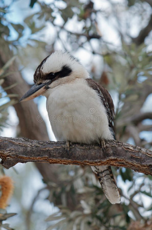 Kookaburra lizenzfreies stockfoto