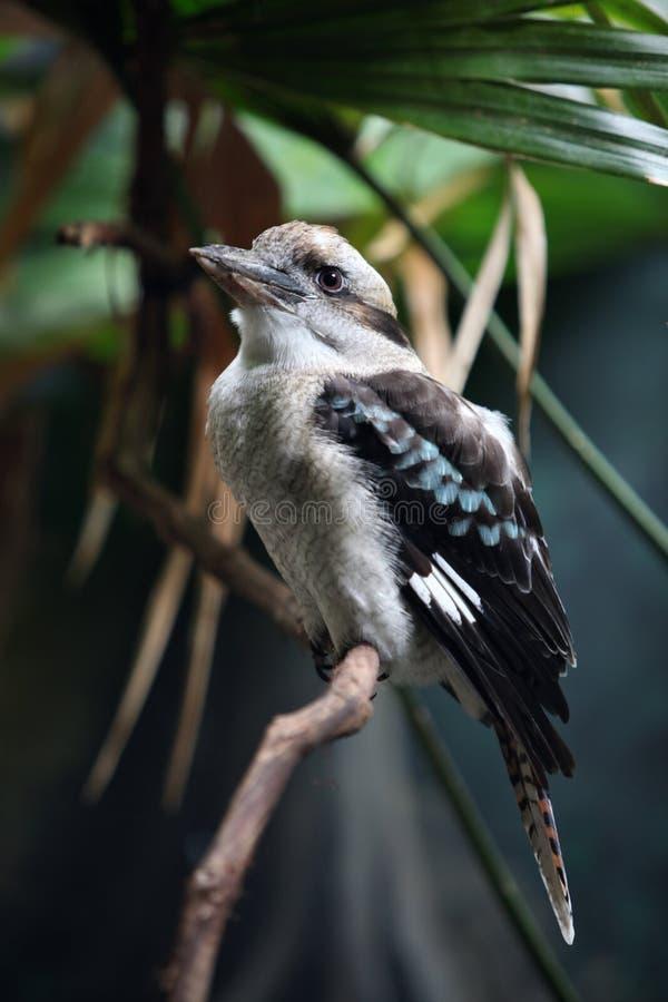 Download Kookaburra stock image. Image of up, australian, feather - 26185933
