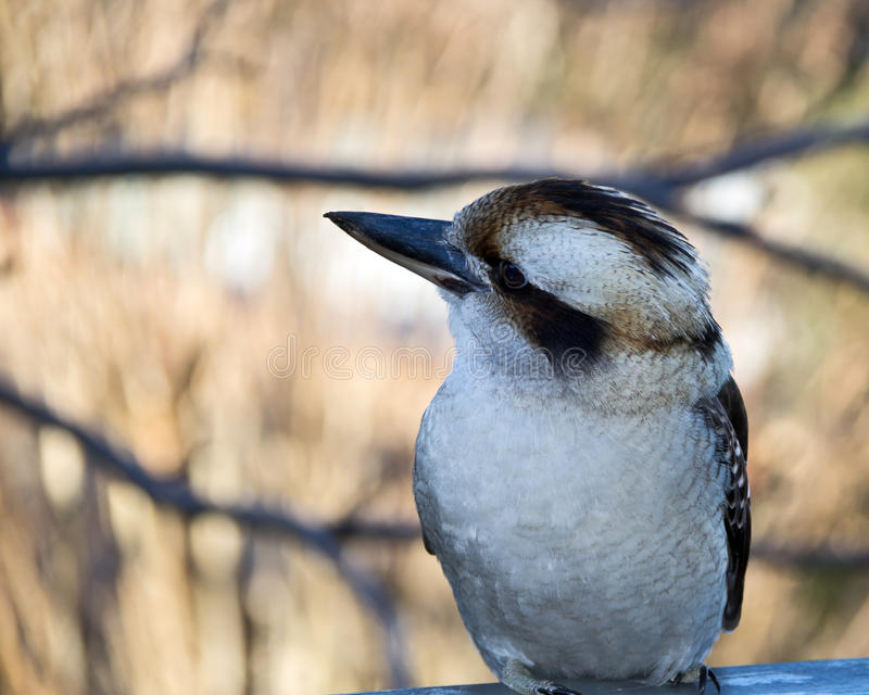 Kookaburra 免版税库存图片