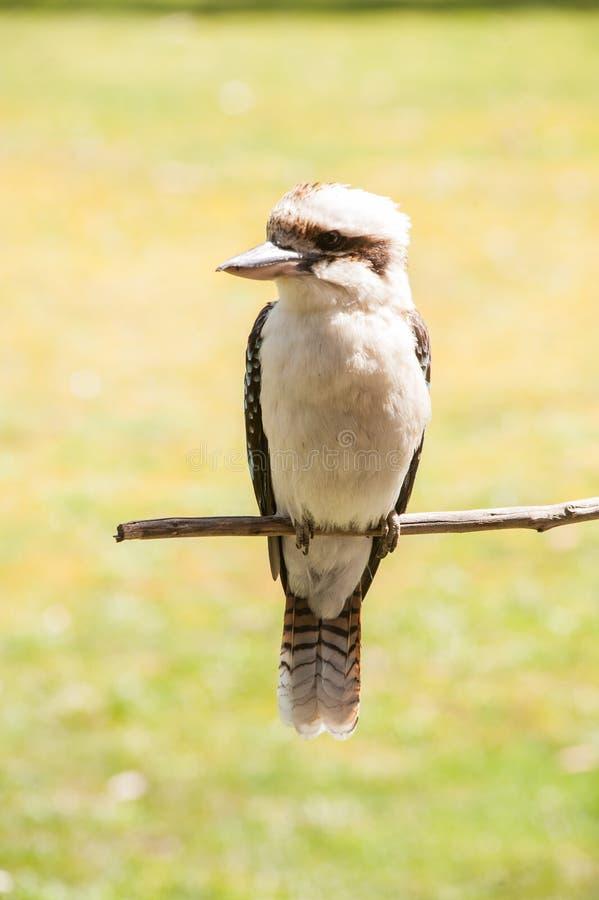 Kookaburra obrazy royalty free
