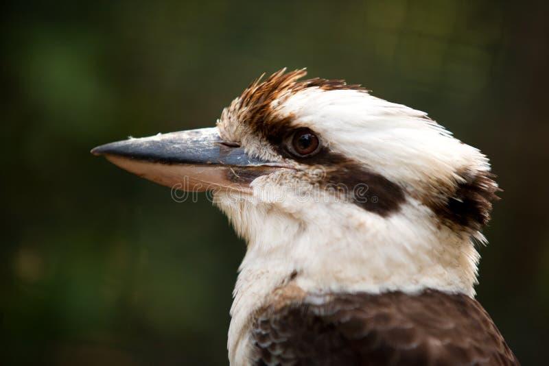 kookaburra foto de stock royalty free
