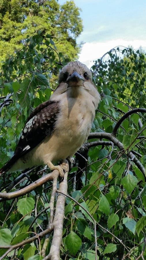 kookaburra fotos de stock