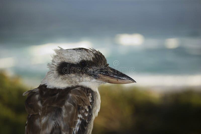 kookaburra obraz stock