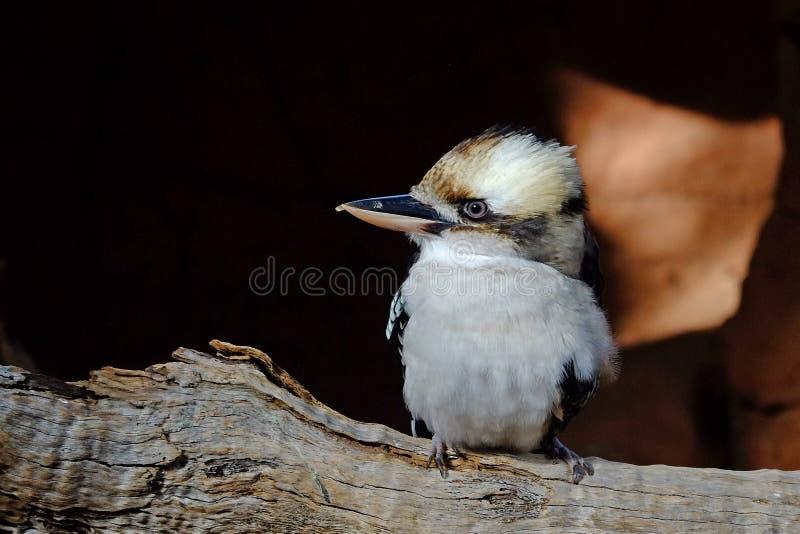 kookaburra στοκ εικόνες
