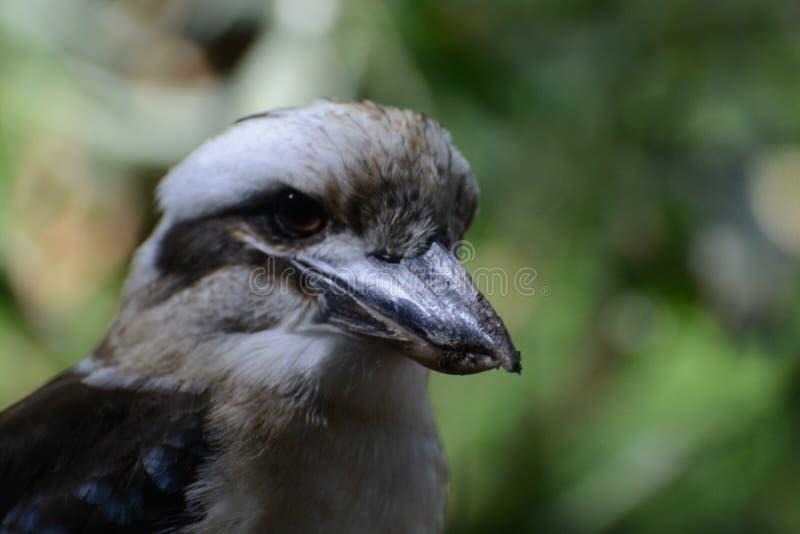 kookaburra стоковое фото rf