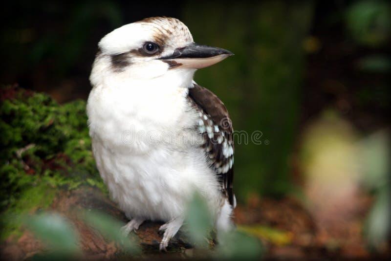 kookaburra stockfoto