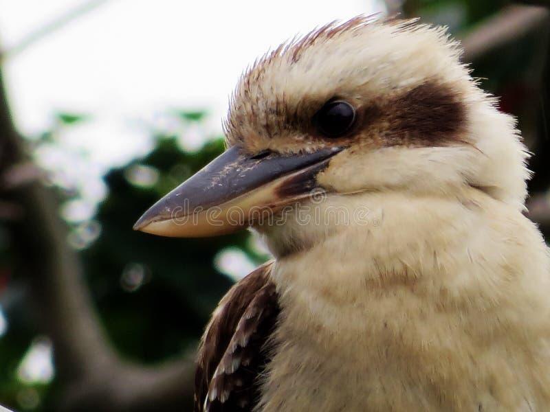 kookaburra foto de archivo