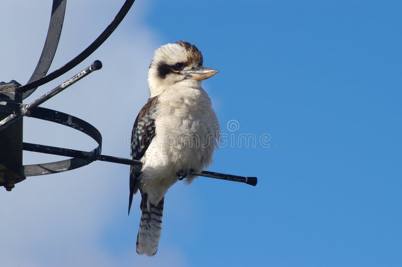 Kookaburra stock foto's
