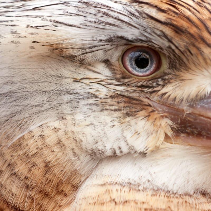 Kookaburra alato blu fotografie stock libere da diritti