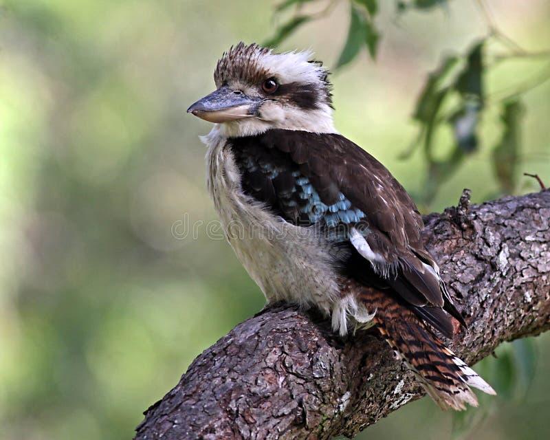 Australian Laughing Kookaburra stock images