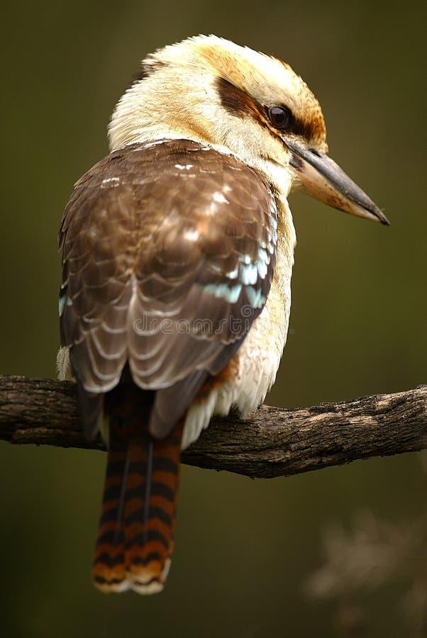 Kookaburra australiano imagem de stock