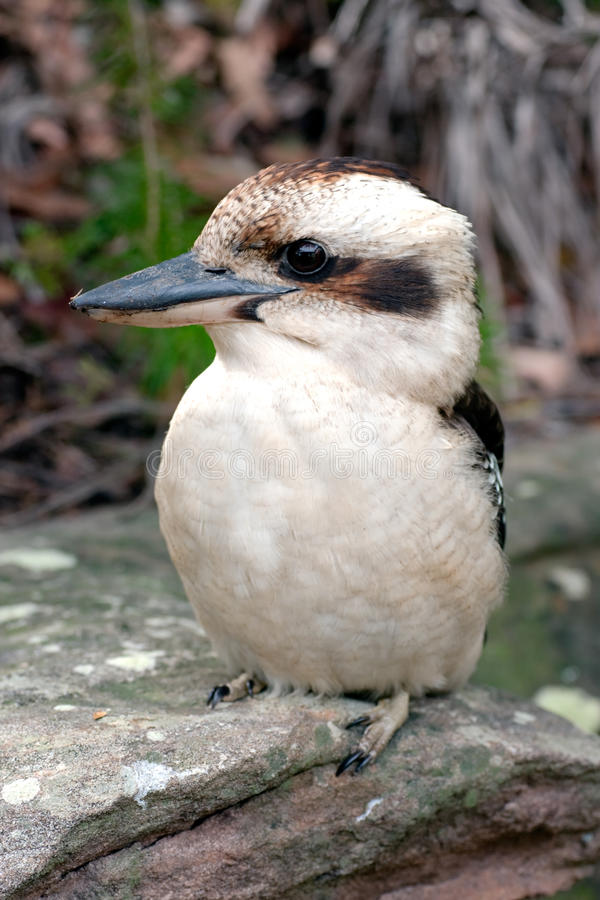 Kookaburra australien, un martin-pêcheur terrestre photographie stock libre de droits