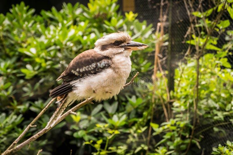 Kookaburra Bird Portrait royalty free stock photography